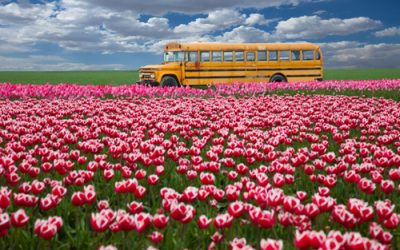 Background – Bus Tulips
